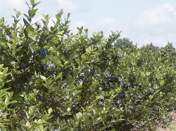 U-pick blueberries, already picked blueberries - Ottawa County Michigan bluberry farm