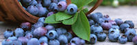 U-pick or already picked blueberries at Woodland Enterprises Berry Farms - serving Zeeland, Holland, Allendale, Standale, Hudsonville, Grandville, Jenison, West Olive and all of West Michigan