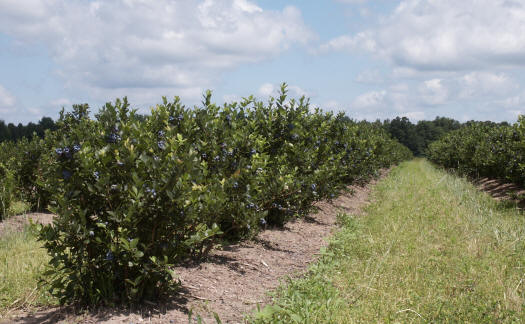 Ottawa County Michigan blueberries and raspberries - the best quality fruit from our family to yours - Woodland Enterprises Berry Farms