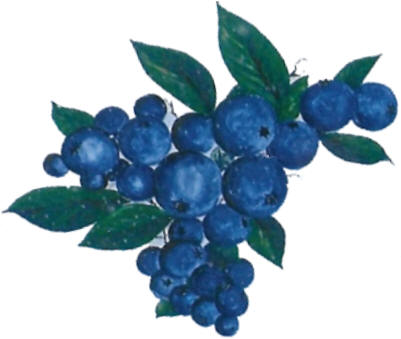 U-pick or already picked blueberries at Woodland Enterprises Berry Farms - serving all of West Michigan